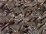 Zebras  Kenya