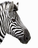 Zebra in Profile
