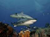 Caribbean reef sharks swimming in the waters off the Bahama Islands