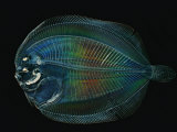This larval flounder is hidden from predators by transparency Papier Photo par David Liittschwager