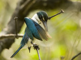 A collared kingfisher perches and preens in the mangroves