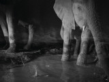 Elephants drink from a waterhole made by swimming pool overflow