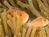 A pink anemone fish in a coral reef