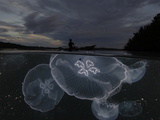 Moon jellyfish rise at nightfall off the island of Gam