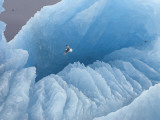A kittiwake soars over a large iceberg in a fiord in Svalbard