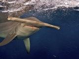 A great hammerhead shark swimming near the ocean's surface