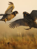 A pair of prairie chickens face off in dramatic aerial jousts