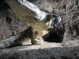 A remote camera captures a crocodile exiting its cave