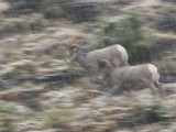 Nimble bighorn sheep sprint over steep slopes in an early snowfall