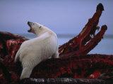 A polar bear scavenges a bowhead whale carcass