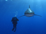 An oceanic whitetip shark swims past a diver