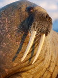 An Atlantic walrus living on the pack ice in Foxe Basin