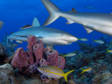 A Caribbean reef shark swims over a coral reef