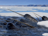 A pod of male narwhals gather at the Arctic ice edge to eat cod