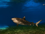 A tiger shark swimming over a turtle grass habitat