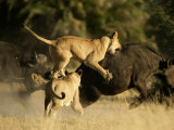 Female African lions pounce on an African buffalo