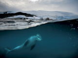 Leopard seals roam so widely  that little is known about them