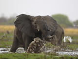 An elephant charges when startled by gunshots fired at poachers