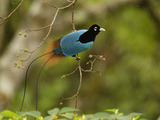 A male blue bird of paradise perched in a fruiting tree