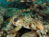 An epaulette shark propels itself on muscular fins