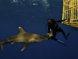 An oceanic whitetip shark swims near a scientist