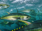 Yellowfin tuna are cage-fed to improve the quality of their meat