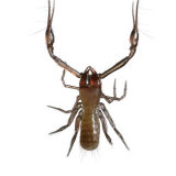 Venom-spitting pincers make this pseudoscorpion a formidable predator