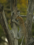 A young leopard practices her hunting skills on quick squirrels