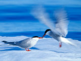 A pair of Arctic terns on the ice