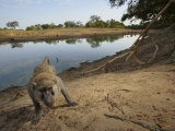 A remote camera captures a curious baboon