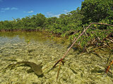 A lemon shark pup swims among mangrove roots