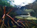 A tagged lemon shark pup swims among mangrove roots