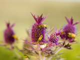 Eryngo flowers color the Flint Hills with summer bursts of violet