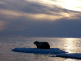 Atlantic walrus living on the pack ice in Foxe Basin