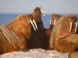 Atlantic walruses living on the pack ice in Foxe Basin