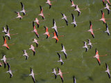A squadron of flamingos in close formation