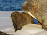 Atlantic walrus raising their young on the pack ice in Foxe Basin