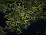 Giant waterlilies punctuate the marsh surface north of Campo Grande