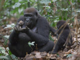 A western lowland gorilla with young eating termites