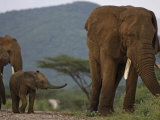 A calf trails a large bull elephant