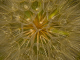 Close view of the seed head of a wildflower