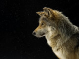 A Mexican gray wolf at the Wild Canid Survival and Research Center