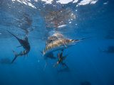 Sailfish hunting sardines in a coordinated fashion