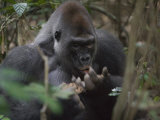 A western lowland gorilla eats termites from his palm