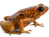 An threatened Oophaga sylvatica frog