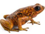 An threatened Oophaga sylvatica frog