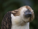 The Philippine eagle twists its head to change its visual perspective