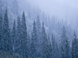 Early snowfall on evergreen trees on the west side of Logan Pass