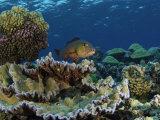 A red snapper in Kingman Reef