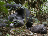 Kingo rests in the leaf litter as son Kusu lies near